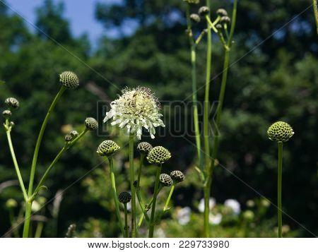 Cream Pincushions Or Scabious, Scabiosa Ochroleuca, Flower Close-up, Selective Focus, Shallow Dof.