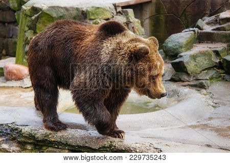 Big Brown Bear In A Zoo On An Artificial Rock.