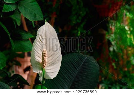 Flower Anthurium Plant On Dark Green Background. White Flamingo Floret For Bouquet, Ideal For Flower