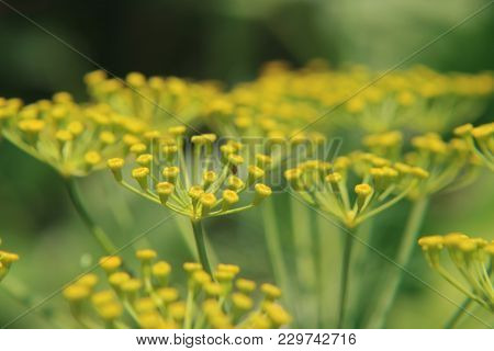 Beginning Of Flowering Yellow Fennel. Shot On Nature.