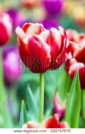 Close Up Tulips Flower In Garden