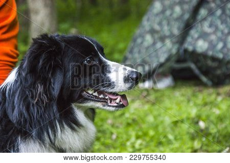 Portrait Of A Border Collie In The Forest At Hiking Travel