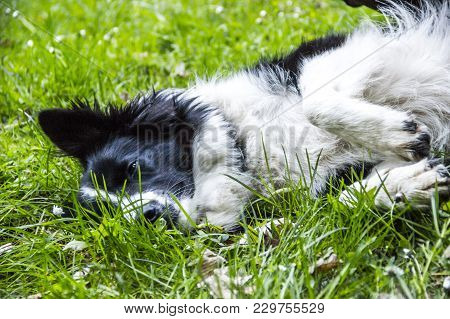 A Border Collie Lying On The Grass