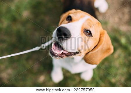 Beautiful Tricolor Puppy Of English Beagle Sitting On Green Grass. Beagle Is A Breed Of Small Hound,