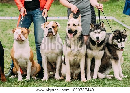 Two American Bulldog Dog, Alsatian Wolf Dog Or German Shepherd Dog And Two Husky Dog Sitting Togethe
