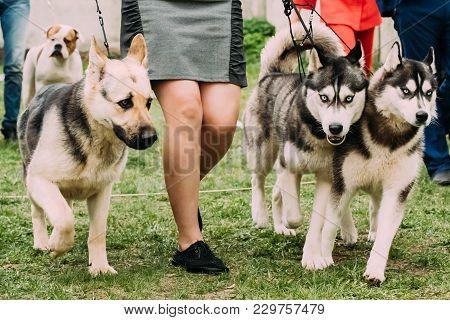 Alsatian Wolf Dog Or German Shepherd Dog And Two Husky Dog Running Near Woman In Green Grass.