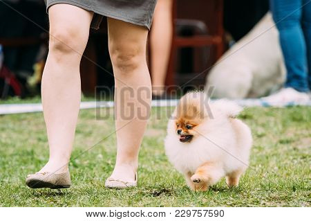 Small Funny Red Pomeranian Spitz Dog Running Near Woman In Green Grass During Training.