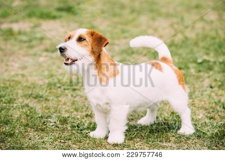 White And Red Young Rough Coated Jack Russell Terrier Dog Standing On Green Grass. Small Terrier.