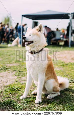 Akita Dog Or Akita Inu, Japanese Akita Sitting On Green Grass. Smiling Dog