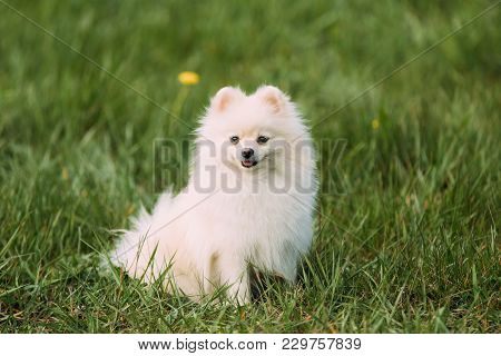 Young Happy White Pomeranian Spitz Sitting In Green Grass.