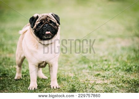 Young Pug Or Mops Standing In Green Grass.