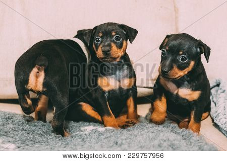 Three Small Black Miniature Pinscher Zwergpinscher, Min Pin Puppy Dogs Sitting On Floor.
