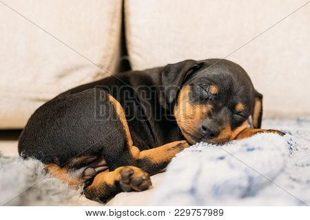 Small Black Miniature Pinscher Zwergpinscher, Min Pin Puppy Dog Sleeping On Floor.