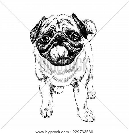 Portrait Of Pug Dog. Hand Drawn Illustration. Vector Engraved Art. Friendly Smilling Puppy Isolated