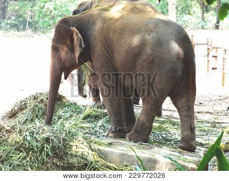 A Couple Of Elephant Eating Grass At Zoo.