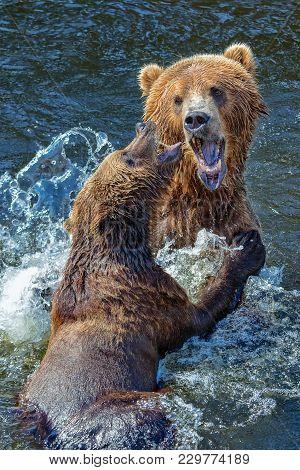 Kodiak Bears In Kodiak Island United States