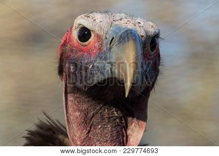 Portrait Of A Lapped-face Vulture South Africa