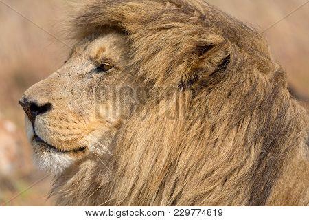 A Lion In The Kruger National Park