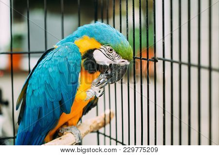 Blue-and-yellow Macaw Also Known As The Blue-and-gold Macaw In Zoo. Wild Bird In Cage.