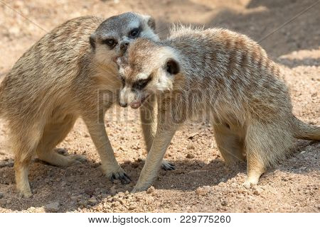 Meerkats In The Kgalagadi Transfrontier Park South Africa