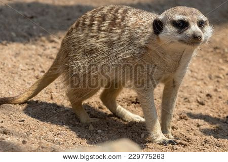 A Meerkat In The  Kgalagadi Transfrontier Park