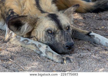 Wild Dog Having Rest In Kruger National Park