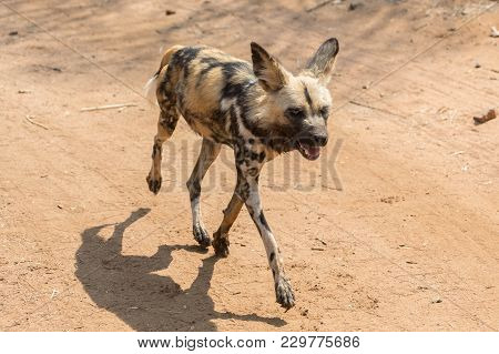 Wild Dog Running In Kruger National Park