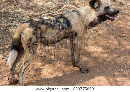 Wild Dog Kruger National Park In Kruger National Park