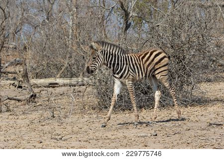 Zebra In Kruger National Park South Africa