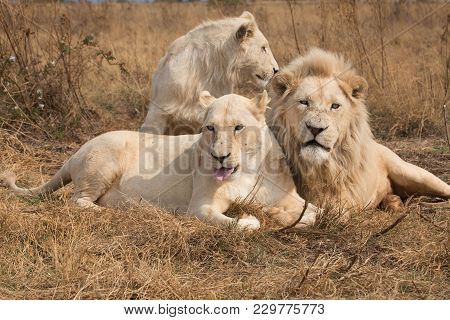 Bunch Of White Lions In South Africa