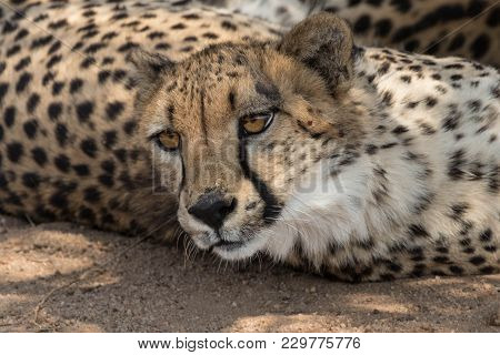 Cheetah Close-up In The  Kruger National Park