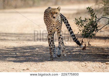 A Cheetah Kruger National Park South Africa