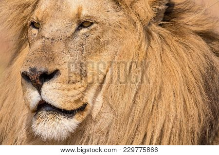 Portrait Of A Beautiful Lion South Africa