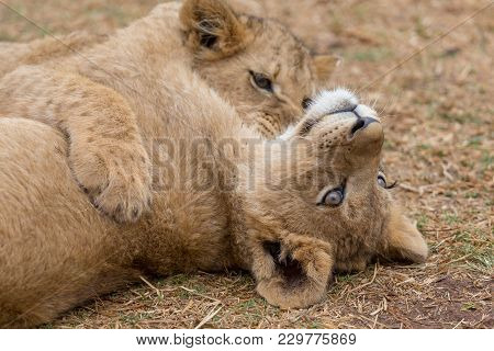 Two Lions Cub Playing In South Africa