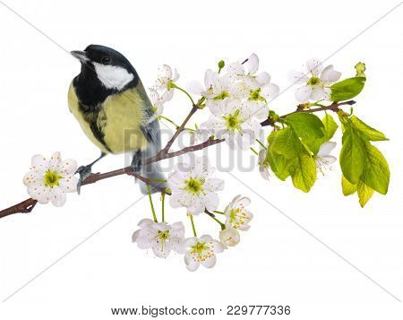great tit on cherry tree blossoming branch isolated on white background