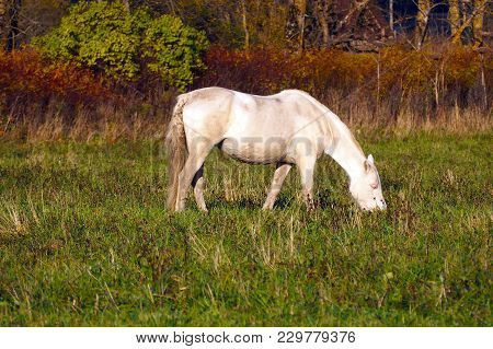 White Horse Eats Grass In The Meadow. The Herd Unattended In Nature.