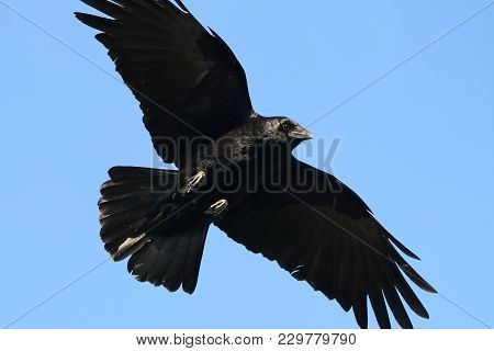 A Carrion Crow Flying With Wings Spread Against A Blue Sky