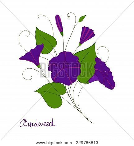 Decorative Element Convolvulus Bouquet. Blue Or Purple Flowers Bindweed. Isolated Morning-glory. Vec