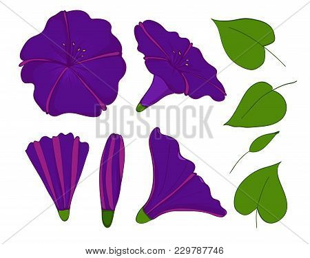 Isolation Elements Of Violet Or Blue Bindweed. Flowers, Buds And Leaves Of Morning-glory. Set Convol