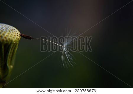 Macro And Closeup Of Dandelion Whit One Dandelion Seed Hanging/ Conceptual Image Of Last Wish