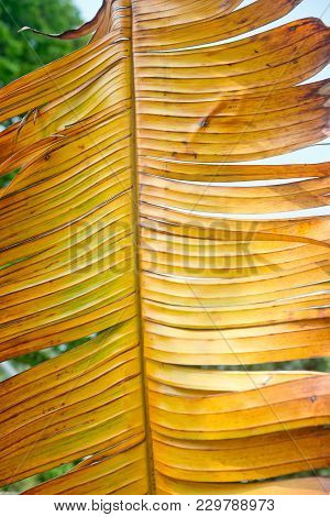 Close Up Shot Of Yellow Palm Leaf As Background