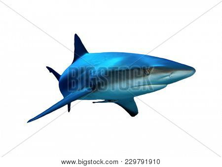 Caribbean Reef Shark isolated white background
