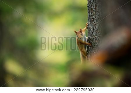 Squirrel From Finland. Finnish Nature. Beautiful Scandinavian Nature. Wild Nature. Beautiful Picture