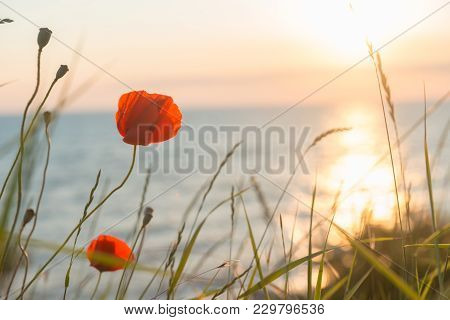 Poppies At Sunset With Sea In Background