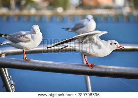 Closeup Of Three Seagulls Standing On A Metal Fence In Ohrid