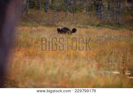 Gulo Gulo. Finnish Nature. Karelia. The Wild Nature Of Europe. Beautiful Picture. Rare Species.