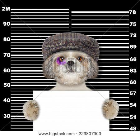 Criminal Shitzu Dog At The Police Station. Photo On Blackbackground