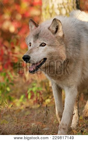 Close Up Head And Shoulders Image Of A Gray Wolf