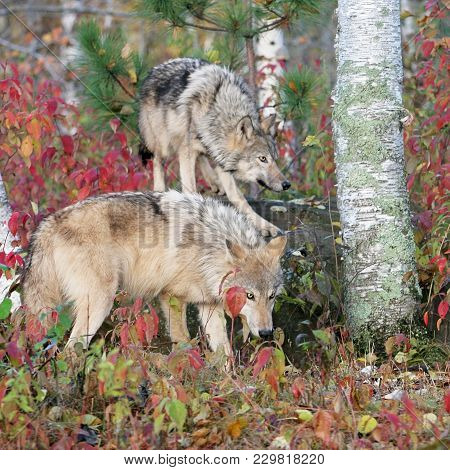Gray Wolves In An Autumn Setting.  Captive Animals