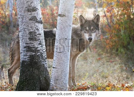 Profile Image Of A Gray Wolf Behind Birch Trees.  Autumn Setting.